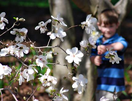 Spring Flowers - Star Magnolia